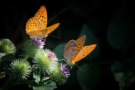 Butterflies on purple thistle flowers